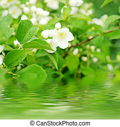 Jasmine flower growing on the bush in garden with water...