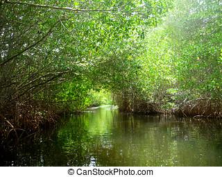Bosque de manglar - Tunel de manglar en el Parque Nacional...
