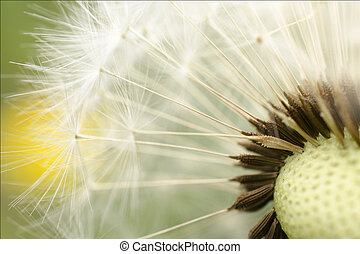 Dandelion - Centre of a dandelion in close up taken.