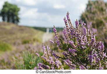 Heather - In Brunssum the heather looked wonderfull this...
