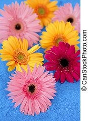 Gerbera colorful flowers still over blue background