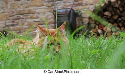 Ginger Cat in Garden - Cute ginger cat playing in Garden...
