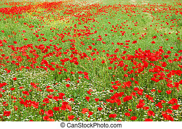 Red poppy flowers field blooming in springtime