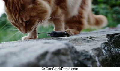 ginger cat playing with dead mouse in Garden, presenting his...