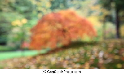 Out of Focus Red Laced Maple Tree - Out of Focus Blurred...