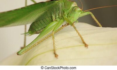Close up of green grasshopper