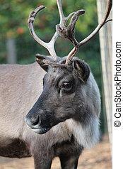 reno, con, peladura, muda, terciopelo, en, antlers, ,