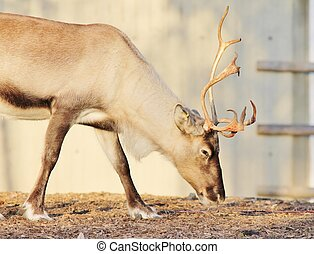 reindeer - domestic carobu Reindeer with antlers and big...