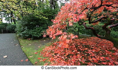 Japanese Red Laced Maple Tree 1080p - Panning Movie of Red...