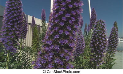 Purple Spikey Liatris Bush CUmov - CU of a purple spikey...