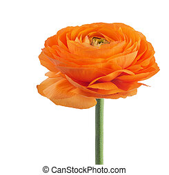 ranunculus asiaticus buttercup flower - Orange ranunculus...