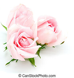 pink rose - Beautiful pink rose, isolated on white...
