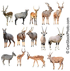male antilope isolated - collection of male antilope...