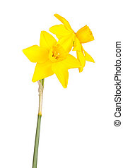 Two flowers and stem of a jonquil cultivar isolated on white