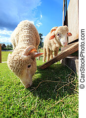 close up face of merino sheep eating green grass in ranch...