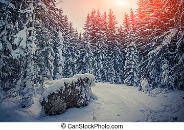 Winter sunrise in the mountain forest with fir-trees and...