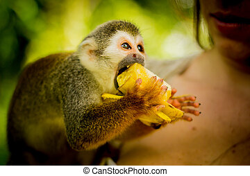 Close-up of a Common Squirrel Monkey at Amazon River Jungle...