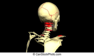 Human head rotating and showing the musculature and vein...