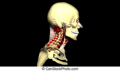 Human head rotating and showing the musculature