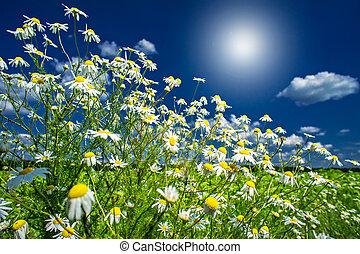 Silence camomiles,sunrise and blue sky - Wonderful...
