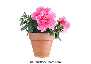 florescer, Cor-de-rosa, azaléia, em, Um, flowerpot,