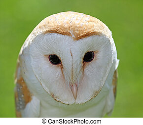 large Barn Owl with big black eyes - Barn Owl with big black...