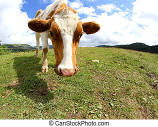 funny cow shot with fisheye lens in the mountains