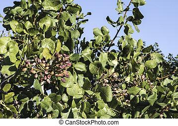 image de pistache arbres pistachio arbres dans greece csp27825364 recherchez des. Black Bedroom Furniture Sets. Home Design Ideas