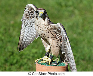large Peregrine Falcon with black eyes with the green...