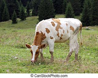 marrón, pradera, vaca, pasto, blanco, pasto o césped, pasto,...
