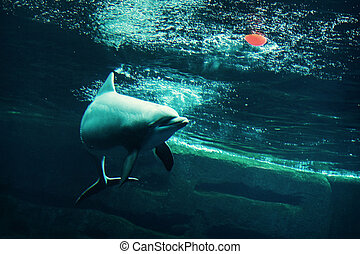Bottlenose dolphin with red ball - Cheerful Bottlenose...