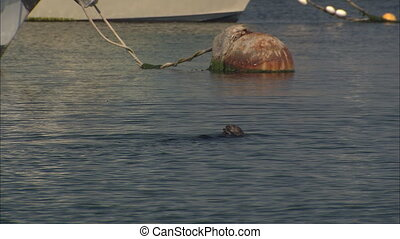 Sea Otter Chowing Down - LS of a sea otter floating on its...