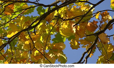 Yellow oak leaves against the blue sky. 4K. - Yellow oak...