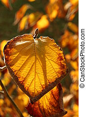 leaves - Leaves in autumn light