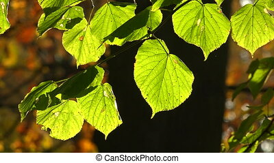 Linden green leaves Shot in 4K ultra-high definition UHD, so...