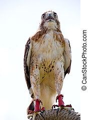 Red Tail Hawk - A trained Red Tail Hawk looking for prey