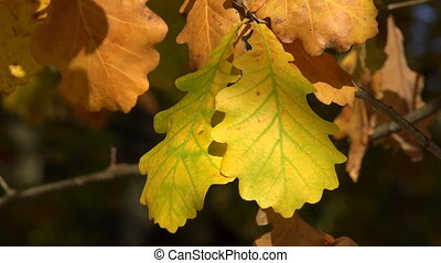 Yellow oak leaves. Shot in 4K (ultra-high definition (UHD)),...