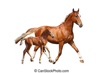 Cute chestnut foal and his mother trotting on white...