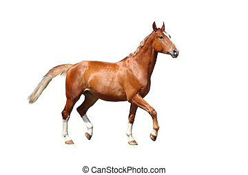 Chestnut brown horse running free on white background -...