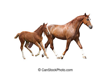 Chestnut horse and its cute foal running fast isolated on...