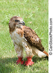 Red Tail Hawk - A trained Red Tail Hawk looking for prey.