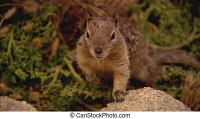 Squirrel XCU2 - CU of a California Ground Squirrel who looks...