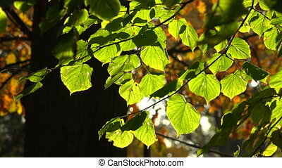 Linden green leaves. Shot in 4K (ultra-high definition...