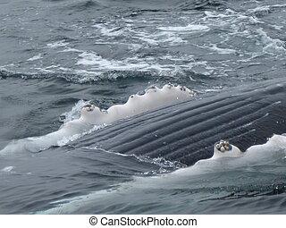 ballena, jorobado, vientre