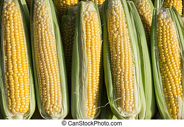 Sweetcorn - A row of sweetcorn, in display at a...