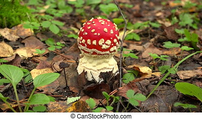 Mushroom fly agaric in the forest.