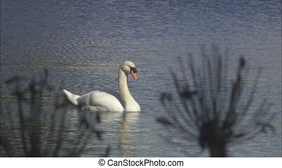 Swan Thru Foliage CU mov - CU of swan through foliage in...