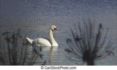 Swan Thru Foliage CU .mov