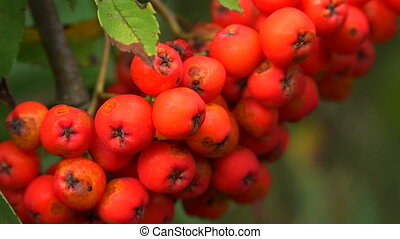 Bunch of red rowan. Shot in 4K (ultra-high definition...