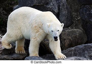 mokry, polarny, Niedźwiedź, Pełny, Ciało,